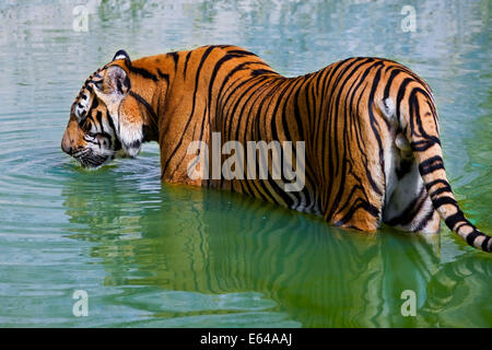 Tigers in water, Indochinese tiger or Corbett's tiger (Panthera tigris corbetti), Thailand - Stock Image