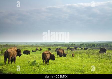 Bison Herd roaming the tallgrass prairie at Prairie State Park, Missouri, USA - Stock Image