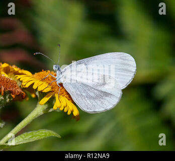 Wood White on Common Fleabane flower. Chiddingfold Forest, Surrey, England. - Stock Image