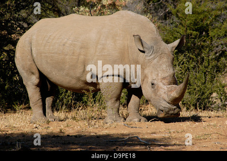 Black rhinoceros (Diceros bicornis) male, which was orphaned by poachers and lives in a fenced reserve, South Africa - Stock Image