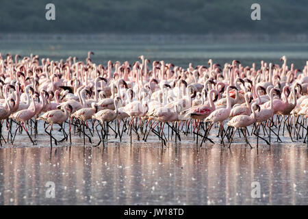 Lesser Flamingos (Phoeniconaias minor) resting and flying at Lake Bogoria early in the morning - Stock Image