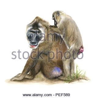 drill mandrillus lecophaeus - Stock Image