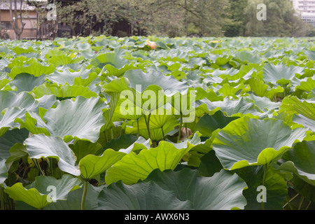 Leaves of lotus plants blanket Shinobazu no ike pond at Ueno Park Taito Ward Tokyo Japan - Stock Image