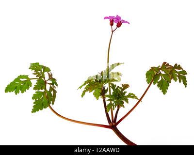 Flowering stem of the ferny foliage, pink flowered UK wildflower, Geranium robertianum, isolated on white - Stock Image
