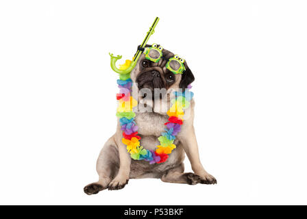 cute smart pug puppy dog sitting down wearing hawaiian flower garland and green goggles and snorkel, isolated on white background - Stock Image