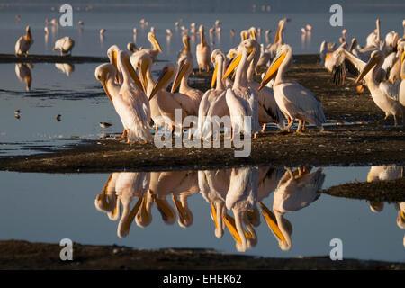 Great white pelicans (Pelecanus onocrotalus) - Stock Image