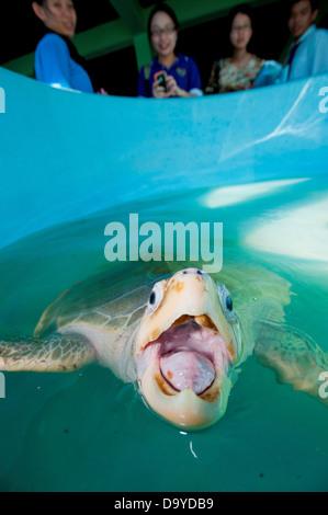 Olive Ridley Sea turtle (Lepidochelys olivacea) at turtle Rearing and Rehabilitation Center, Brunei - Stock Image
