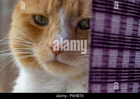 Ginger cat sitting on the window sill partially obscured by a purple window blind - Stock Image