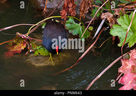 Common Moorhen latin name Gallinula chloropus commonly known as the waterhen and swamp chicken - Stock Image