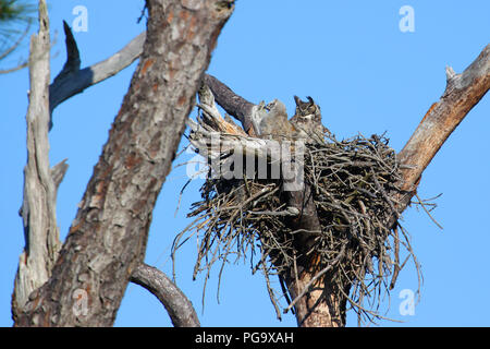 A great horned owl and young in an abandoned osprey nest. - Stock Image