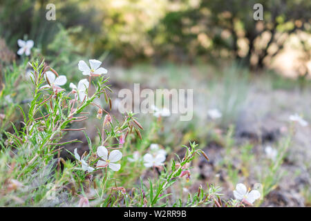 Many Oenothera pallida pale evening primrose wild flowers in canyon closeup at Bandelier National Monument in New Mexico - Stock Image