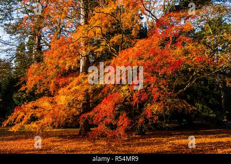 Autumn sunlight on a magnificent Maple tree at Westonbirt Arboretum, Gloucestershire, UK - Stock Image