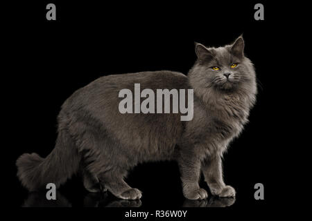 Gray Cat Standing full length and satisfied Looking in Camera on Isolated Black Background, side view - Stock Image