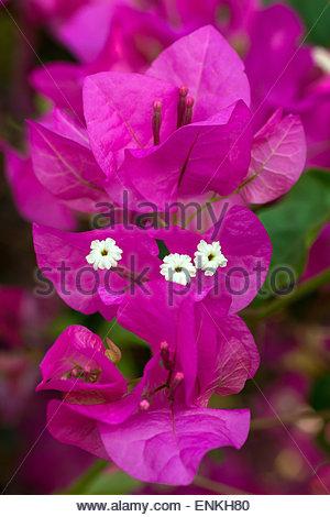 Bougainvillea - Stock Image