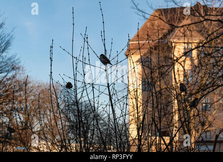 House sparrows, Passer domesticus, sit in a bush with buds just starting to appear on the branches. - Stock Image