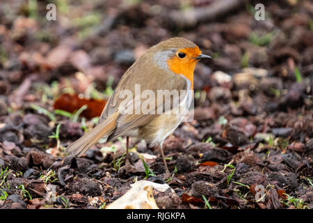 The European robin, known simply as the robin or robin redbreast in the British Isles, is a small insectivorous passerine bird, - Stock Image