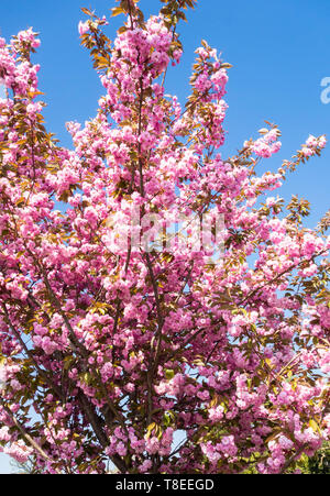 Pink Cherry blossom of the Prunus 'Kanzan' against a blue sky April 2019 - Stock Image