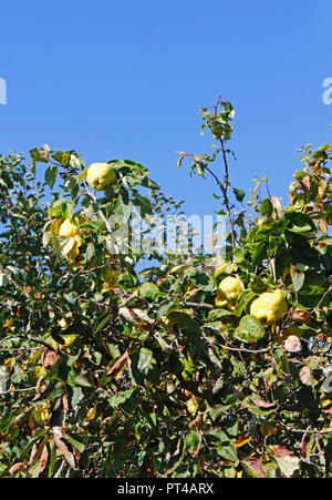 A view of a Quince tree, Cydonia oblonga, in autumn with ripening fruit. - Stock Image