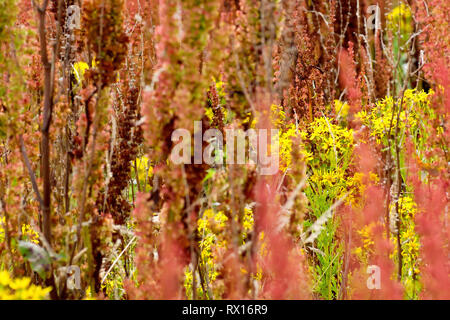 An abstract shot of Common Ragwort (senecio jacobea) growing through and amongst a field of Dock plants (rumex). - Stock Image