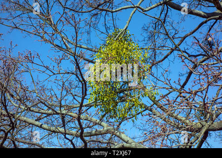 Mistletoe growing on a tree in woodland / parkland - Stock Image