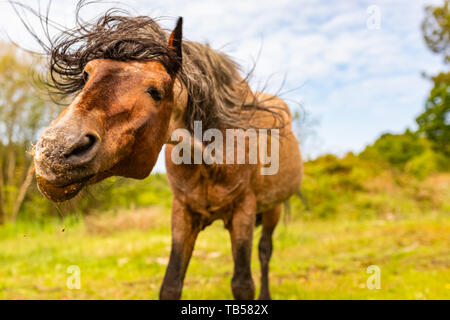 Action pony portrait in landscape orientation of brown wild pony shaking head vigorously in Dorset, England. - Stock Image