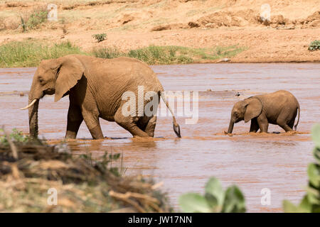 Baby elephant (African Elephant, Loxodonta africana) following its mother to cross the river, making splashes - Stock Image