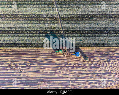 A tractor harvests leeks in the portuguese countryside - Stock Image