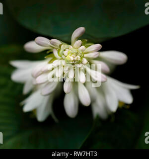 White and Light Lavender Hosta Flowers, Close-Up - Stock Image