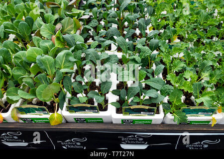 Display of Kitchen Garden Kale and pointed cabbage vegetable bedding plants for spring planting in a Garden Centre - Stock Image