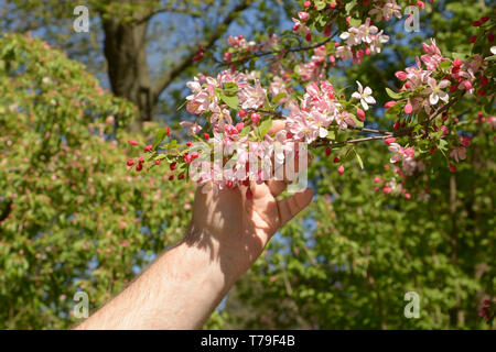 branch of japanese crab in male hand, hand of a man holds the branches of malus floribunda or purple chokeberry in spring - Stock Image