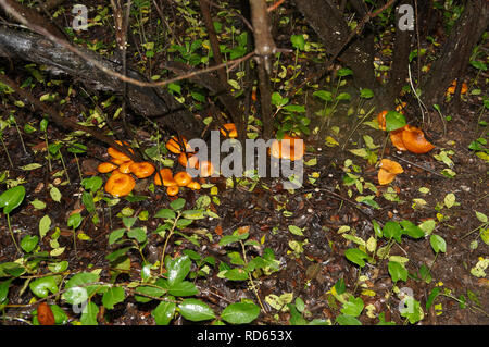Omphalotus olearius, known as the jack-o'-lantern mushroom, is a poisonous orange mushroom. South of France, Var. - Stock Image