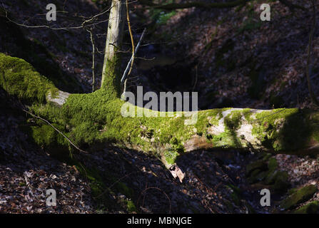 Moss covered tree trunk - Stock Image