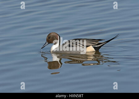 Pintail (Anas acuta) drake in spring plumage. Gloucestershire, England. March. - Stock Image