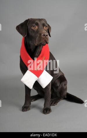 Chocolate Labrador Retriever wearing a Christmas scarf, Germany - Stock Image