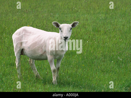 Close up of freshly sheared sheep in lush green field of grass - Stock Image