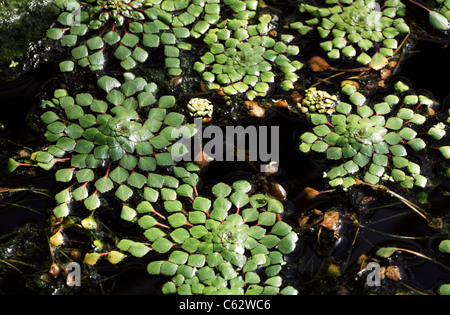 Mosaic Plant or False Loosestrife, Ludwigia sedioides, Onagraceae. Brazil and Venezuela, South America. - Stock Image