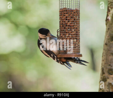 Greater spotted Woodpecker Dendrocopos major  feeding on peanuts from a garden bird feeder England UK - Stock Image