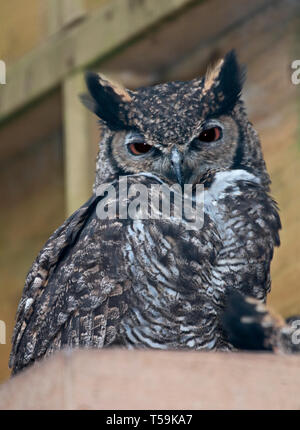 Great Horned Owl (bubo virginianus) - Stock Image
