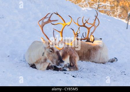 Two reindeer lying in the snow - Stock Image