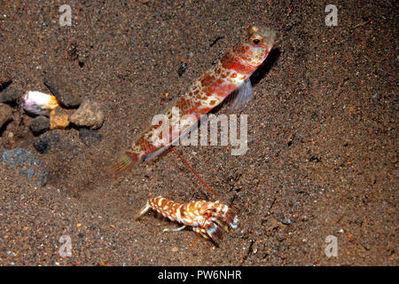 Broad-Banded Shrimpgoby, Amblyeleotris periophthalma with Alpheid Shrimp, Alpheus bellulus. See below for further information. - Stock Image