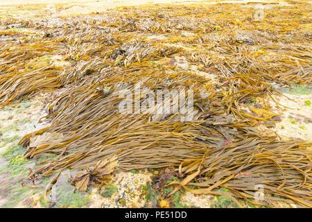 Seaweed at low tide - Stock Image