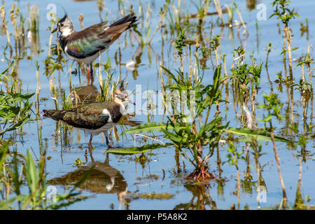 Rutland water Oakham 26 th June 2018:Lapwing reflection and bathing swans on a hot day as Gray Heron Little Egret fishing, mother feeds her young, young male Ofspray takes his fiorst flight.  Clifford Norton Alamy  Live News. - Stock Image