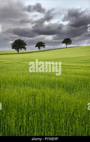 Dark clouds over rolling field of green wheat crop with three trees on Highway B6460 near Duns Scottish Borders Scotland UK - Stock Image
