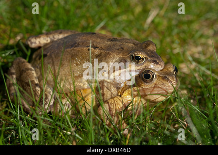 A pair of European Common Frogs (Rana temporaria) mating in spring - Stock Image
