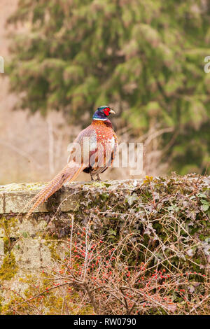 Male cock common pheasant (Phasianus colchicus) standing on a wall in the English rural countryside displaying its brightly coloured plumage - Stock Image