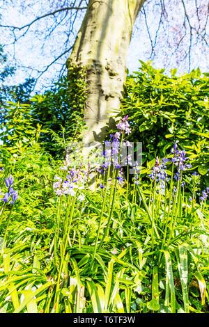 Bluebells, Hyacinthoides non-scripta, Hyacinthoides non-scripta Bluebells, Bluebell, Bluebell plants, Bluebell flowers, bluebells, flowers, plants - Stock Image