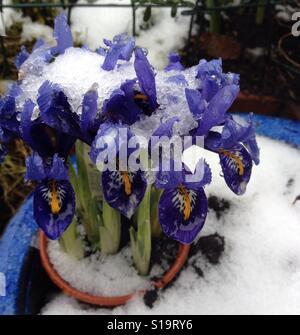 Snowy iris - Stock Image