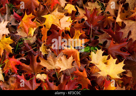 the colours of autumn at Winkworth Arboretum, Surrey, England - Stock Image