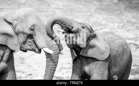 Black & white close-up photograph showing strong affection, bond, love between a young African elephant & his mother together outside in the sunshine. - Stock Image