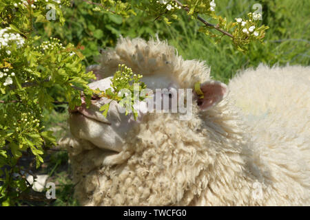 Dorset Horned ewe sheep eating leaves and flowers of a hawthorn bush on the Purbeck peninsula in Dorset. - Stock Image